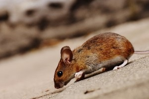 Mice Exterminator, Pest Control in Potters Bar, Cuffley, Northaw, EN6. Call Now 020 8166 9746