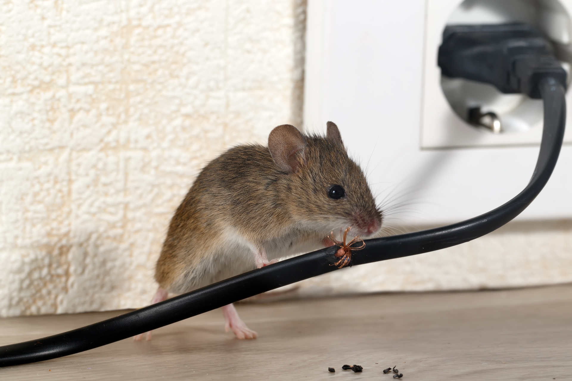Mice Infestation, Pest Control in Potters Bar, Cuffley, Northaw, EN6. Call Now 020 8166 9746