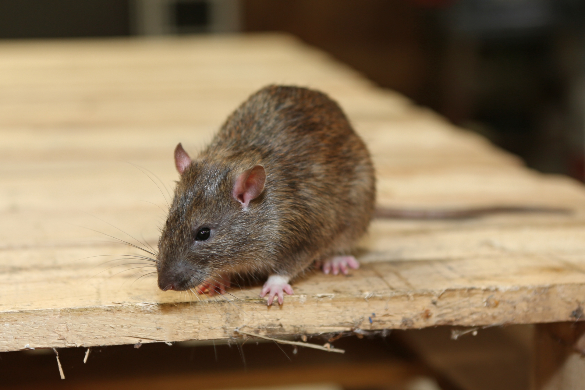 Rat extermination, Pest Control in Potters Bar, Cuffley, Northaw, EN6. Call Now 020 8166 9746