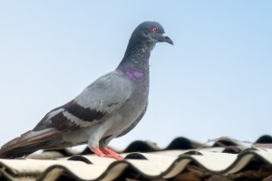 Pigeon Pest, Pest Control in Potters Bar, Cuffley, Northaw, EN6. Call Now 020 8166 9746